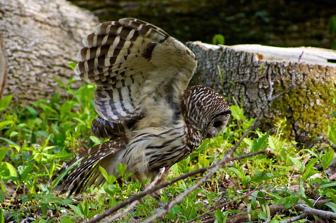 Bared Owl Landing